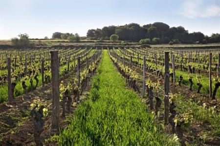 old vine languedoc